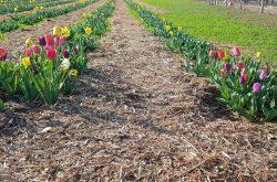 "Visitare Tulipania ""u-pick"" - Terno d'Isola"